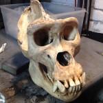 Aged Gorilla skull