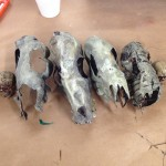Plastic bottle dog skulls