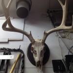Mule Deer Antler mount