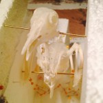New articulated Pigeon Skeleton