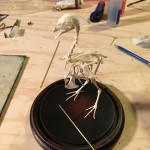 Articulated quail skeleton
