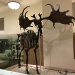 Massive antlers